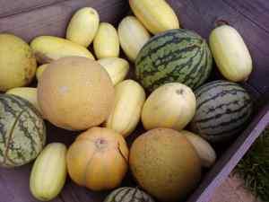 melons in wheelbarrow