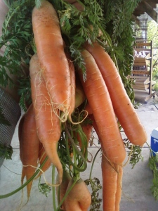Fresh carrots from the greenhouse,