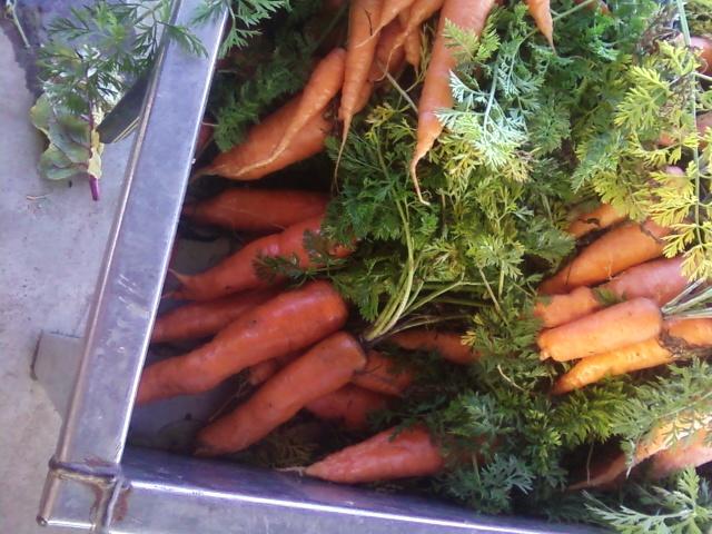 fantastic carrots, fall 2012