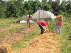 CSA members spreading straw for our no-till beds, and intern Garret working on tomatoes