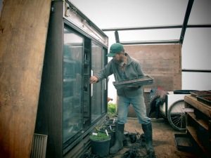 Curtis removing seedlings from the germination chamber